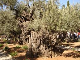 Olives of Gethsemane