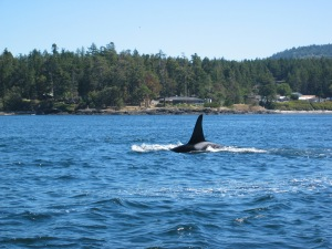 "An Orca (also commonly called a ""Killer Whale""). These are a beautiful sight in the waters of the Pacific Northwest- especially British Columbia and Washington state."