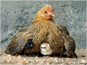 Mother hen...